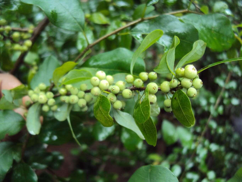 Bdellium Gum (guggul)