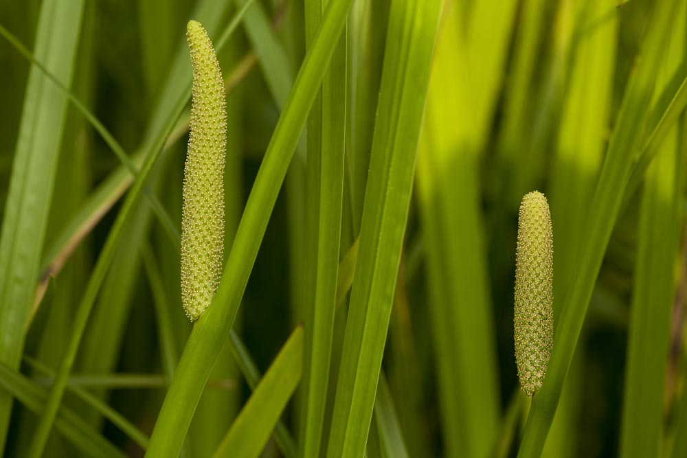 Medicinal Uses Of Acorus Calamus