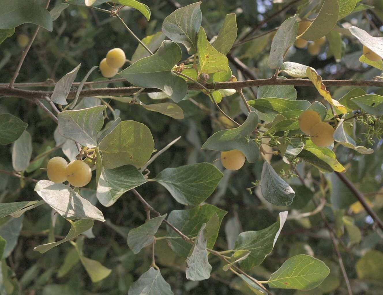 Styrax officinalis – stacte in the Bible