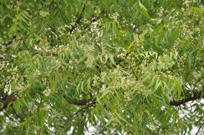 What are the health benefits of Azadirachta indica (common name neem)