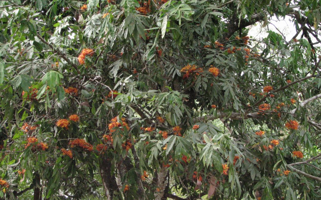 Are there any references to Saraca asoca in ancient literature?